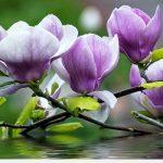 Cây mộc lan kĩ thuật trồng và cách chăm sóc