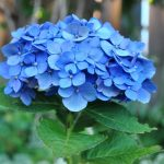 đặc điểm của hoa cẩm tú cầu