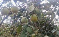 Cách trồng và chăm sóc cây bưởi đường chín sớm